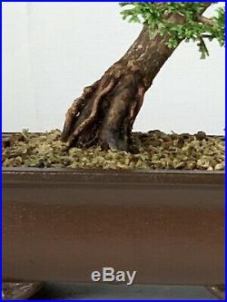 Dwarf Hinoki Cypress Var. Hage