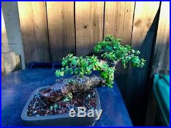 Dwarf Jade Tree Super Nice