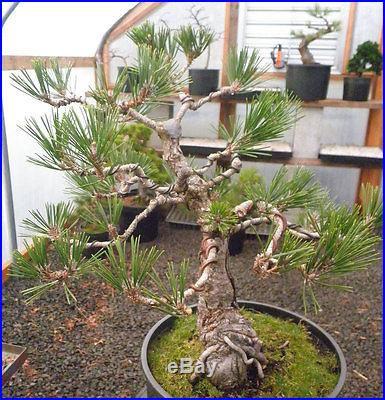 Dwarf Japanese Black Pine Pre Bonsai