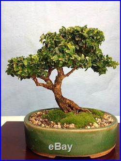 Dwarf Japanese Boxwood Specimen Shohin Bonsai Tree Morris midget Kingsville