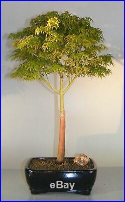 Dwarf Japanese Maple Bonsai Tree (acer palmatum'Capercis Dwarf')