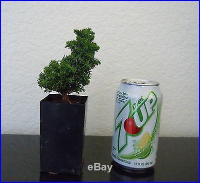 Dwarf Japanese cedar Tansu for shohin mame bonsai tree super tiny multi list