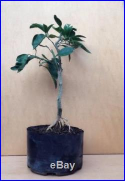 Dwarf Mandarin Pre Bonsai Flowering Fruiting Great Nebari Movement Shohin Kifu