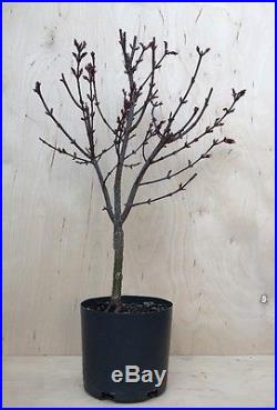 Dwarf Shaina Red Japanese Maple Pre Bonsai Tree Thick Trunk Nebari