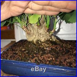 Dwarf Shohin Ginkgo Biloba Bonsai Tree Japanese 42 years old ginko NR massive