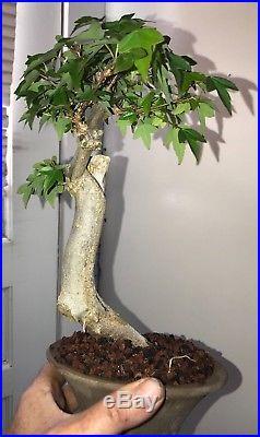 Dwarf Shohin Mame Trident Maple Bonsai Tree Japanese Maple 16 yrs movement a++