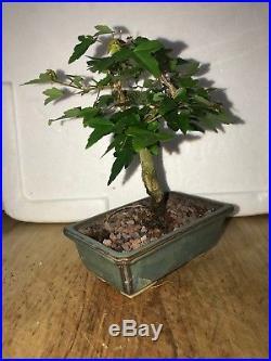 Dwarf Shohin Mame Trident Maple Bonsai Tree Japanese Maple 17 yrs movement nr