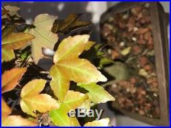 Dwarf Shohin Mame Trident Maple Bonsai Tree like Japanese Maple 10years rare nr
