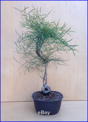 Dwarf Thread Leaf Nandina Bonsai Tree Shohin Rare Nebari Twin Trunk