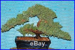 EX Large Japanese Dwarf Juniper Bonsai Tree GREAT GIFT! #20