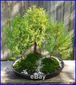 Eastern Cedar Bonsai forest in a 13.5 inch brown oval pot