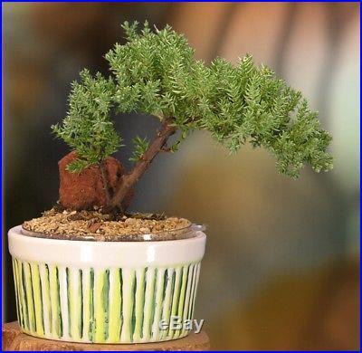 Easy Watering Juniper Bonsai, 3-4 Year Old Tree