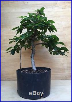English Hornbeam Specimen Pre Bonsai Tree Kifu Carpinus Beltus BIG Thick Trunk