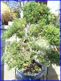 Established Japanese Juniper for shohin mame bonsai tree great shape gift bonsai