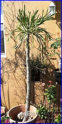 Euphorbia ramipressa 10 Cuttings Very Rare and Unique