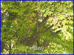 European Hornbeam Carpinus betulus bonsai tree seeds shohin japanese not pine