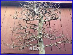 European Hornbeam bonsai specimen