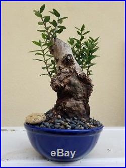 European Olive Tree, Bonsai Tree, SALE