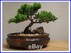 Exotic Bonsai Juniper Tree Zen Garden Nice Best Japanese Dwarf Indoor Outdoor