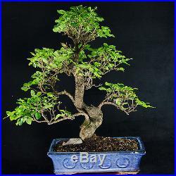 Extra Large Chinese Privet Bonsai Tree Ligustrum Sinense # 0021