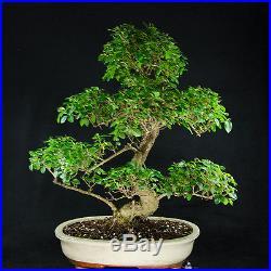 Extra Large Chinese Privet Bonsai Tree Ligustrum Sinense # 0851