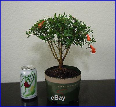 Fat Dwarf pomegranate tree for shohin mame bonsai multiple listing in bloom