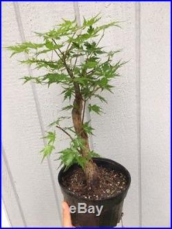 Fat Japanese Maple Tree Old Pre Bonsai Stock