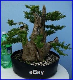 Fat Trunk Nia Neea Buxifolia Pre Bonsai Tree