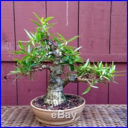 Ficus Nerifolia Willow Leaf Bonsai Specimen. (FAT TRUNK!)