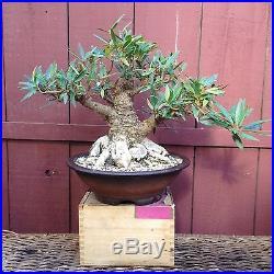 Ficus Nerifolia Willow Leaf bonsai specimen