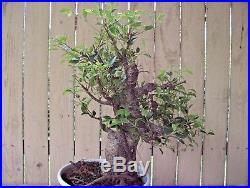 Ficus Retusa-Tiger Bark-specimen lrg. Nice