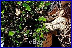 Ficus Retusa-Tiger Bark-specimen lrg, banyan, pre finished, 6.5 base, gr8 xmas