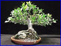 Ficus Tiger Bark Bonsai