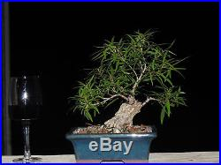 Ficus Willow Leaft Bonsai