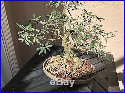 Ficus nerifolia (Chumono Size) Bonsai Tree Undeniable Great Age