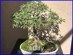 Ficus nerifolia (Willow Leaf) Bonsai Tree Specimen Shows Great Age