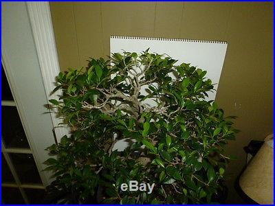 Ficus retusa banyan style bonsai