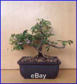 Firethorn Pyracantha Flowering Shohin Bonsai Tree Red Berries Twin Trunk