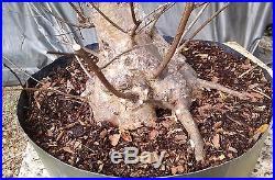 Flowering Bonsai tree! Crape Myrtle, Pink Flowers, Advanced Prebonsai