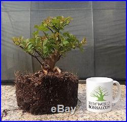 Flowering Bonsai tree! Crape Myrtle Prebonsai, Purple Flowers, Shohin Sized #1
