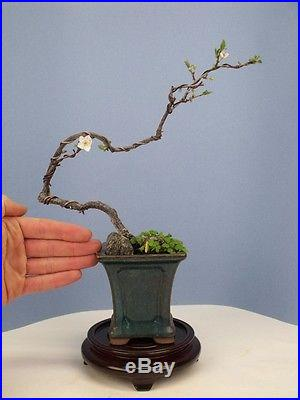 Flowering Cherry Specimen Shohin Bonsai Tree compare to maple or crabapple