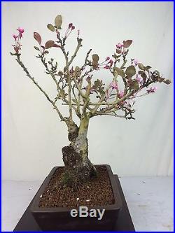 Flowering Fruiting Crabapple Specimen Bonsai Tree Malus Japanese Yamaaki Pot