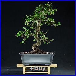 Flowering Fukien Tea Chuhin Bonsai Tree Carmona Microphylla # 4514_1
