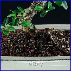 Flowering Fukien Tea kifu Bonsai Tree Carmona Microphylla # 7242_1