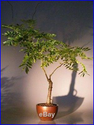 Flowering Japanese Wisteria Bonsai Tree Deciduous Outdoor 10 yrs old 21- 25 T