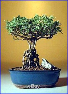 Flowering Mount Fuji Serissa With Raised Roots Indoor 7 years old, 7 tall