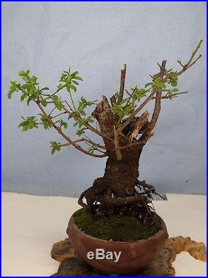 Flowering Plum Ume Specimen Yamadori Bonsai Tree compare to crabapple