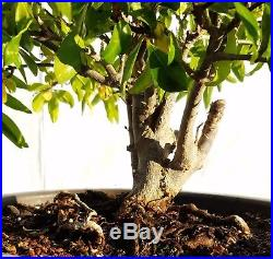 Flowering Pomegranate Bonsai Tree