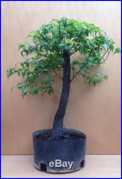 Flowering Ume Pre Bonsai Tree BIG Thick Trunk Nebari Specimen Japanese Apricot