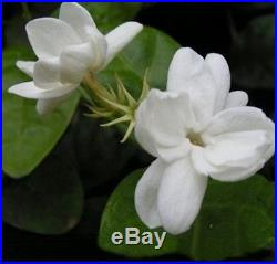 Flowering Water Jasmine Indoor Bonsai wrightia religiosa 15 yr 15 T